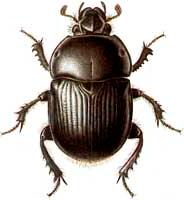escarabajo_1amu